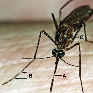 יתוש 2 בינוני